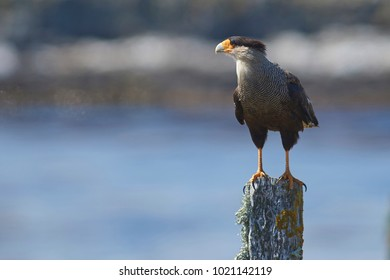 Southern Caracara (Caracara plancus) standing a fence post on Bleaker Island in the Falkland Islands.