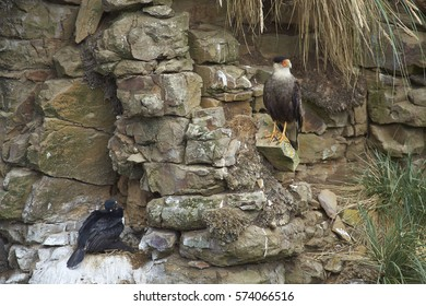 Southern Caracara (Caracara plancus) standing a rocky cliff above a colony of nesting Rock Shag (Phalacrocorax magellanicus) with chicks on Bleaker Island in the Falkland Islands