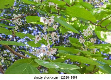 Southern catalpa or cigartree, Catalpa bignonioides, growing on urban parks