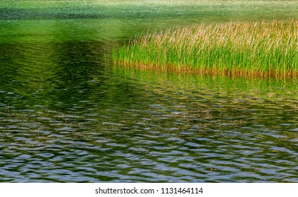 Southern cattails (Typha domingensis) in a green lake - Topeekeegee Yugnee (TY) Park, Hollywood, Florida, USA