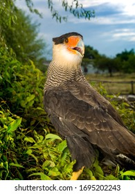 The southern crested caracara (Caracara plancus), is a bird of prey in the family Falconidae. lived at forest