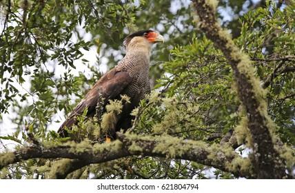 Southern crested caracara (Caracara plancus) at Villarrica N.P. (chile)