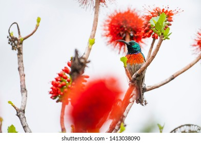 The southern double-collared sunbird or lesser double-collared sunbird (Cinnyris chalybeus) is a small passerine bird which breeds in southern Africa.