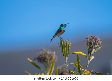 Southern double-collared sunbird or lesser double-collared sunbird, Cinnyris chalybeus sitting on small plant facing right with beak open as if singing, against blue sky