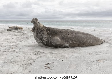 Southern Elephant Seal - adult mature bull