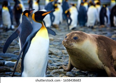 Southern Elephant Seal And King Penguins In South Georgia Island
