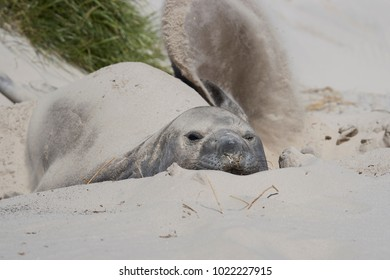 Southern Elephant Seal (Mirounga leonina) resting in the sand dunes on Carcass Island in the Falkland Islands.