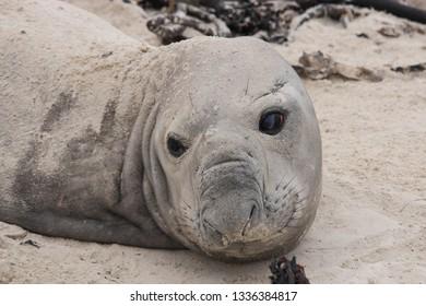 southern elephant seal, Mirounga leonina, resting on the beach during molting season, Fish Hoek, South Africa, Atlantic Ocean