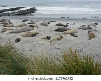 Southern elephant seals adults & pups on Sea Lion Island Falkland Islands