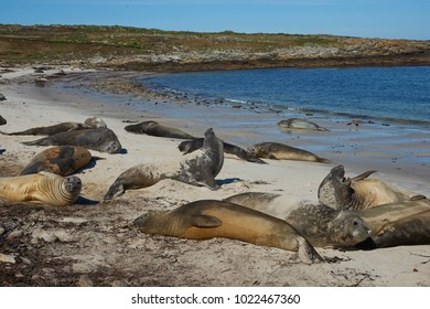 Southern Elephant Seals (Mirounga leonina) on the coast of Carcass Island in the Falkland Islands.