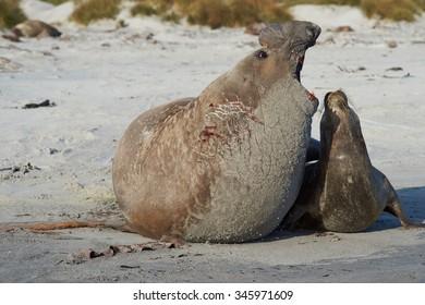 Southern Elephant Seals (Mirounga leonina) mating on a sandy beach on Sealion Island in the Falkland Islands.