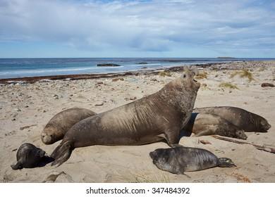Southern Elephant Seals (Mirounga leonina) on a sandy beach on Sealion Island in the Falkland Islands.
