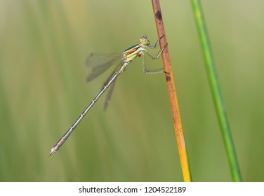 Southern emerald damselfly, shy emerald damselfly, migrant spreadwing (Lestes barbarus) with parsite (Arrenurus papillator)