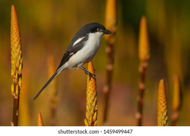 The southern fiscal, common fiscal or fiscal shrike