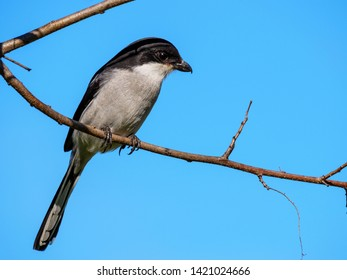 Southern fiscal, common fiscal or fiscal shrike (Lanius collaris). George. Garden Route. Western Cape. South Africa