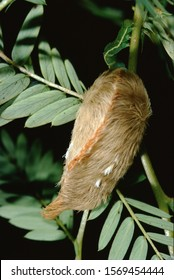 Southern Flannel Moth Puss Caterpillar (Megalopyge Opercularis)