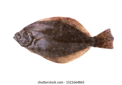 Southern Flounder (Paralichthys lethostigma). Left-eyed flounder, up side. Isolated on white background