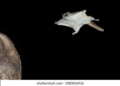 Southern flying squirrel Agnieszka Bacal.