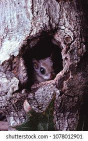 Southern Flying Squirrel (Glaucomys Volans) 3a