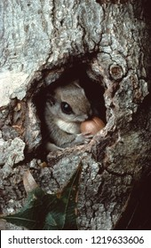 Southern Flying Squirrel (Glaucomys Volans)