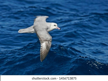 Southern Fulmar (Fulmarus glacialoide) flying over the souther Atlantic Ocean near Antarctica.