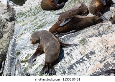 Southern fur seals basking at Milford Sound, South Island, New Zealand