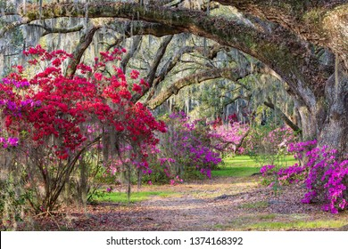 Southern garden with live oak branches arching over vivid red and pink blooming azaleas in the lowcountry of Charleston, South Carolina.