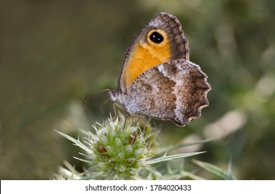 Southern Gatekeeper or Pyronia cecilia butterfly.Photo made in Spain.