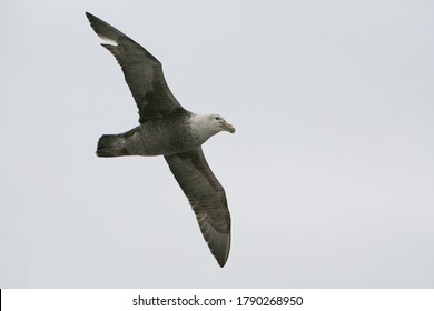 A southern giant petrel (Macronectes giganteus), also known as the Antarctic giant petrel or giant fulmar soaring over the Drake Passage between South America and Antarctica.
