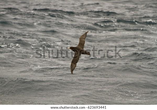 southern giant Petrel(Macronectes giganteus) in flight, southern ocean,Indian sector