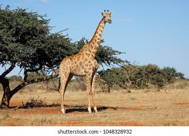 A southern giraffe (Giraffa camelopardalis) in natural habitat, South Africa