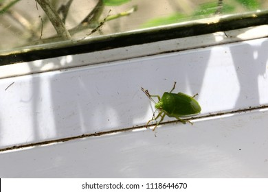 Southern green stink bug finds its favorite leaves. Example of perfect mimicry of Nezara viridula to local vegetation to hide from predators as birds or other insects, Green shield bugs, Palomena pras