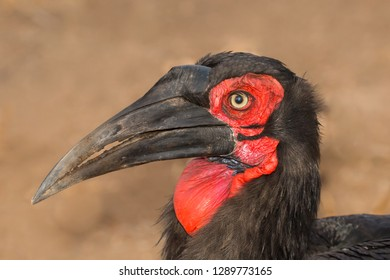 A Southern Ground Hornbill (Bucorvus leadbeateri) close up of the head and bill against a blurred natural background, Kruger National Park, South Africa