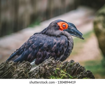 The southern ground hornbill (Bucorvus leadbeateri; formerly known as Bucorvus cafer), is one of two species of ground hornbill and is the largest species of hornbill. The other species of the genus B