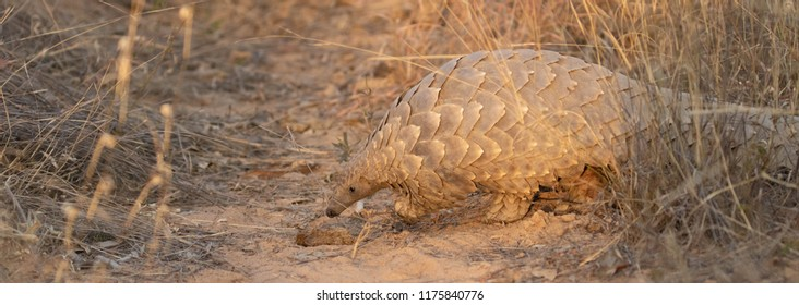 Southern Ground Pangolin
