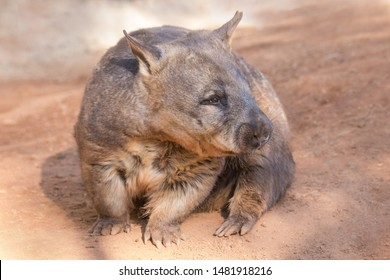 Southern Hairy-nose Wombat of  Southern Australia