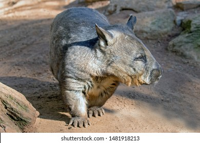 Southern Hairy-nosed Wombat of Southern Australia