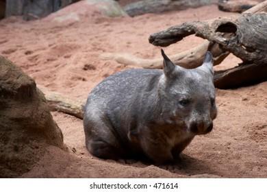 Southern Hairy-nosed Wombat (Lasiorhinus latifrons)