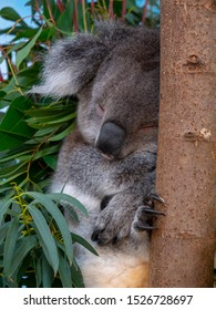 Southern Koala sleeping in a eucalyptus tree gripping on to the tree trunk with its sharp claws. Cute grey koala bear resting in a tree after eating eucalyptus leaves.