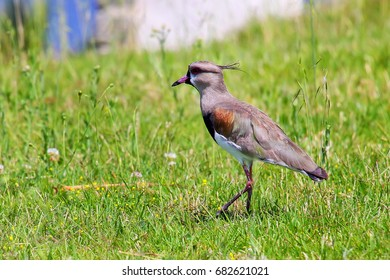 Southern Lapwing (Vanellus chilensis) on the bank of Plate River in Montevideo, Uruguay. This bird is the national bird of Uruguay.