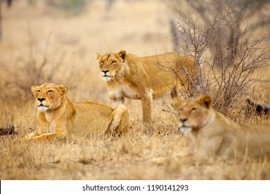 The Southern lion (Panthera leo melanochaita) also the East-Southern African lion or Panthera leo kruegeri. The adult lioness is creeping to the prey, Other members of the pack are watching.