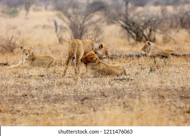 The Southern lion (Panthera leo melanochaita) also as the East-Southern African lion or Eastern-Southern African lion or Panthera leo kruegeri. Two adult lionesses greeting each other.