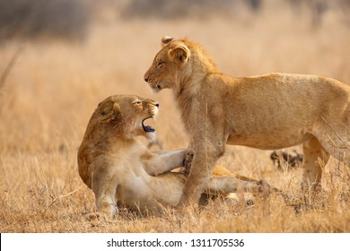 The Southern lion (Panthera leo melanochaita) also as the East-Southern African lion or Eastern-Southern African lion or Panthera leo kruegeri. Two young males play and fight.