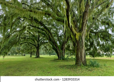 Southern live oak trees on the grounds of Fort Frederica National Monument in Saint Simons Island, Georgia