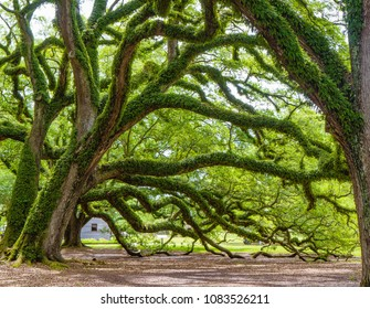 Southern live oaks with Spanish moss covered branches reaching to ground on grounds of Oak Alley Plantation, Louisiana, USA.