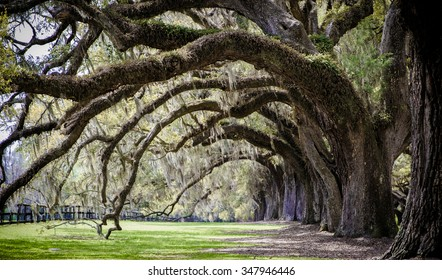 Southern Live Oaks with Spanish Moss