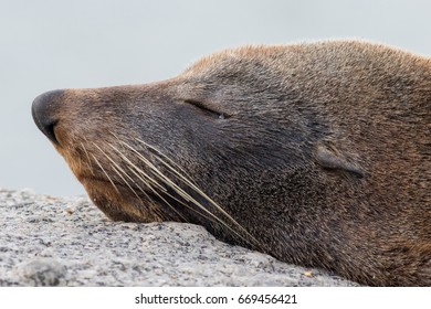 Southern, long-nosed or New Zealand fur seal (Arctocephalus forsteri) resting on a rock at the ocean edge. Granite Island, South Australia, Australia.