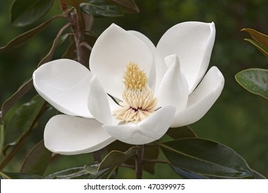 Southern magnolia flower (Magnolia grandiflora). Called  Evegreen Magnolia, Bull Bay, Bullbay Magnolia, Laurel Magnolia and Loblolly Magnolia also