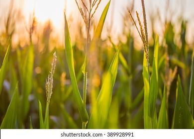 Southern Maryland corn field at sunset.