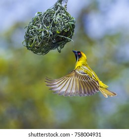 Southern masked weaver in Kruger national park, South Africa ; Specie Ploceus velatus family of Ploceidae